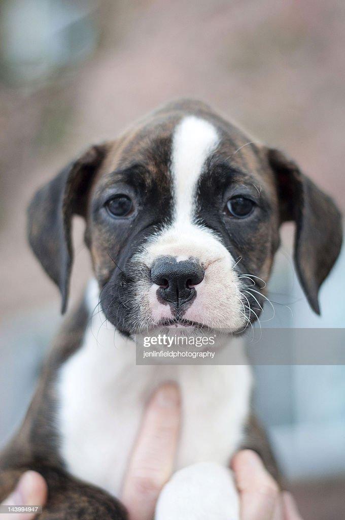Boxer puppy : Stock Photo