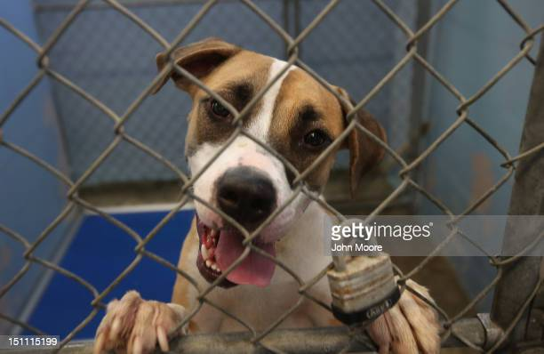 Boxergreat dane mix Felix awaits transport from the Jefferson Parish Animal Shelter on September 1 2012 on the outskirts of New Orleans Louisiana The...