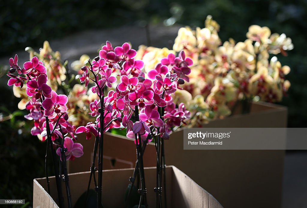 Boxes of Phalaenopsis orchids wait to be put on display in the Princess of Wales Conservatory for the Orchid Festival at the Royal Botanic Gardens, Kew on February 7, 2013 in London, England. 4500 orchids, 550 bromeliads and 350 assorted foliage plants have been installed for the Festival which runs from February, 9 to March 3, 2013.