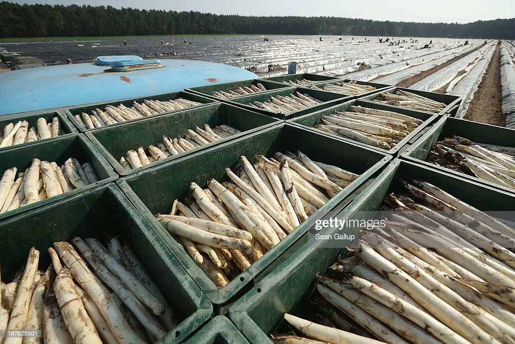 Boxes of white asparagus harvested by Polish migrant workers lie on a truck bed at an asparagus field at the Buschmann und Winkelmann Spargelhof Klaistow asparagus farm on April 26, 2013 near Klaistow, Germany. White asparagus, which is grown under black sheeting to protect it from the sun in order to maintain the white color, is a national delicacy and one of the main agricultural products of the local Beelitz region.