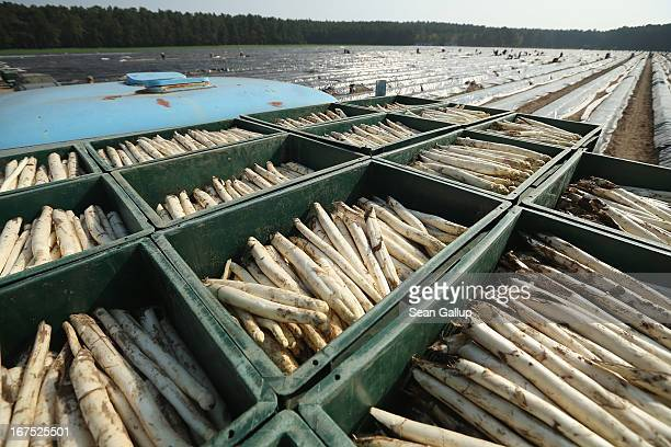 Boxes of white asparagus harvested by Polish migrant workers lie on a truck bed at an asparagus field at the Buschmann und Winkelmann Spargelhof...