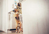 Boy and beagle dog look something delicious  in refrigerator