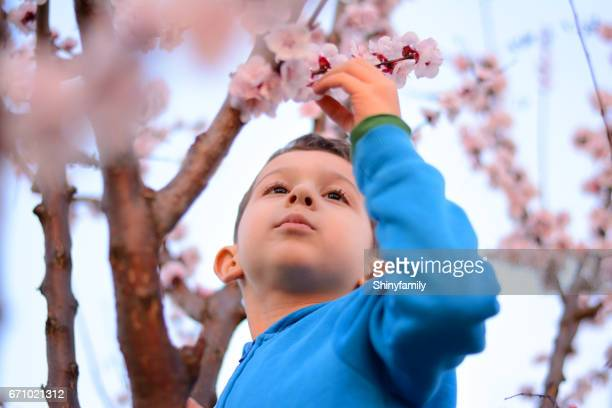 Boy climbing on spring blossoming apricot tree