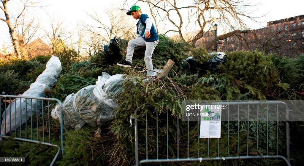 A boy climbs through a pile of Christmas trees stacked in Tompkins Square Park January 10, 2013 in New York. The trees have been left for collection where they will be turned into mulch in a program called 'Treecycle.'