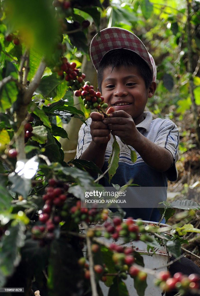 A boy collects coffee beans in a farm in San Marcos de Tarrazu, 80km from San Jose, on January 17, 2013. Central America, one of main producers of the best Arabica Coffee, is analyzing to take measures to combat the Roya (Puccinia graminis) blight already threatening more than one third of the grain crop, one of the region's major export items. AFP PHOTO/ Rodrigo ARANGUA