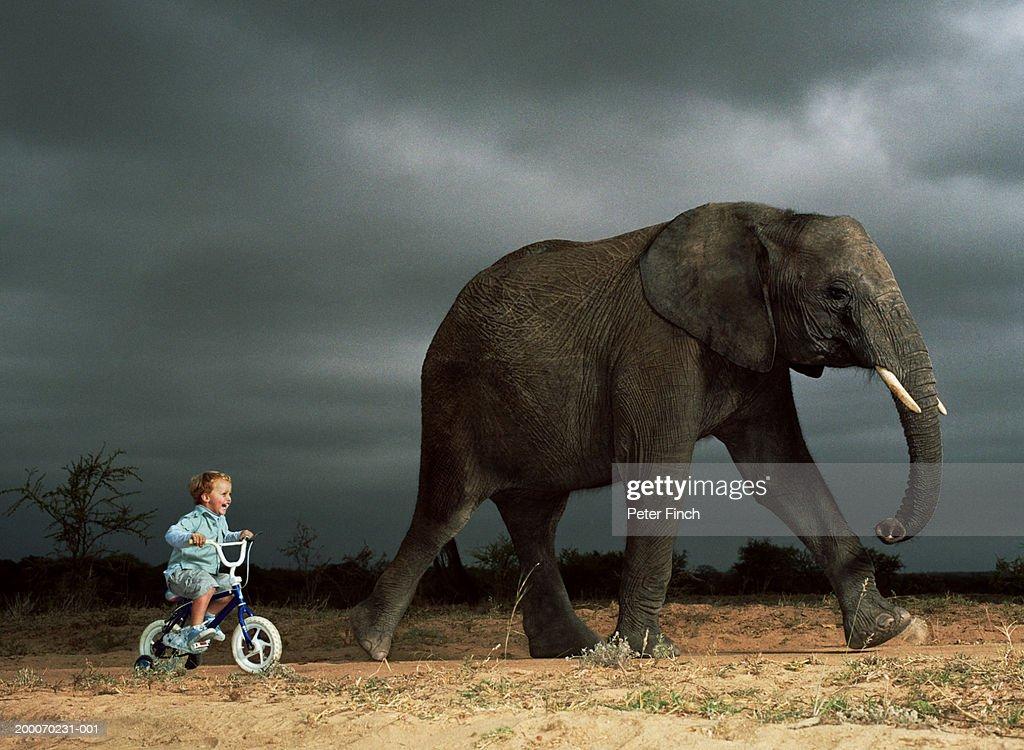 Boy (2-4) cycling beside walking African elephant (Digital Composite) : Stock Photo