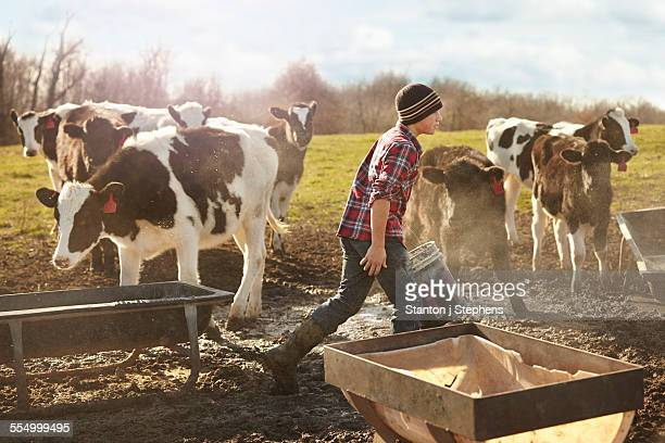 Boy farmer feeding cows in dairy farm field