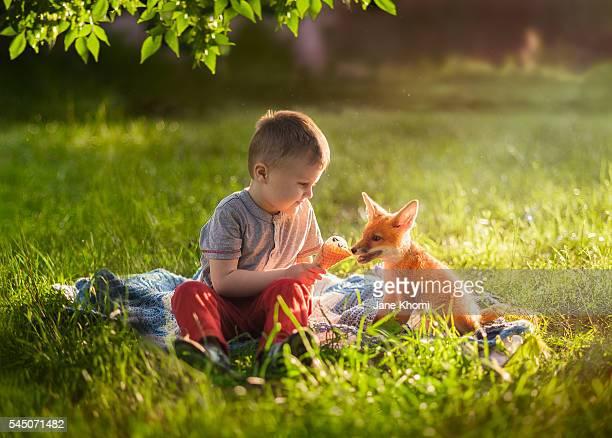 Boy feeding a vixen with ice-cream, Red Fox (Vulpes vulpes)