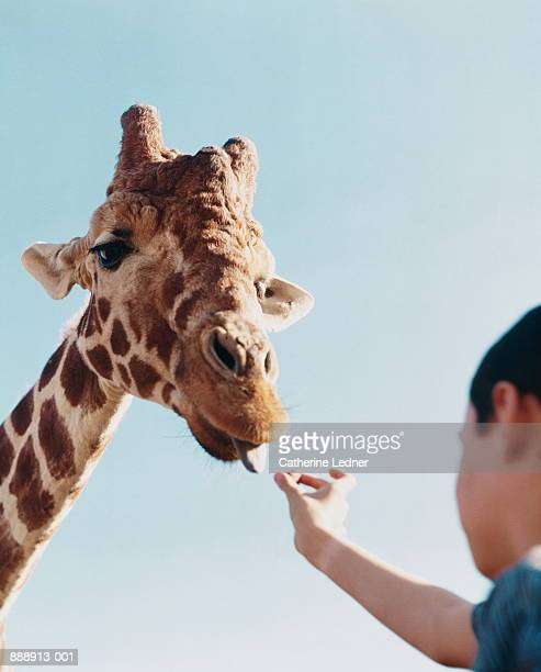 Boy (8-10) feeding giraffe (Giraffa camelopardalis), low angle view