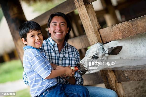 Boy feeding the cows