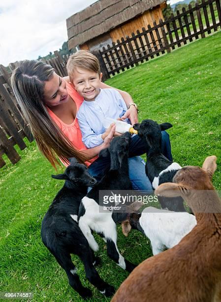 Boy feeding the goats