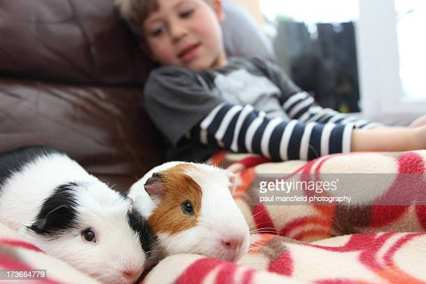 Boy gazing at pet Guinea Pigs