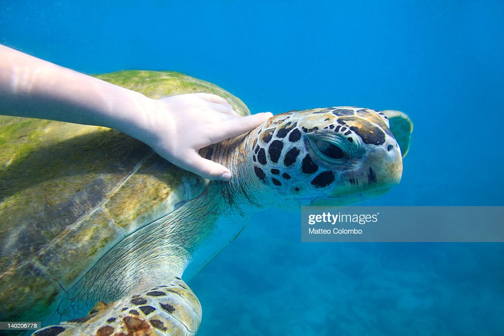Boy hand touching sea turtle : Stock Photo