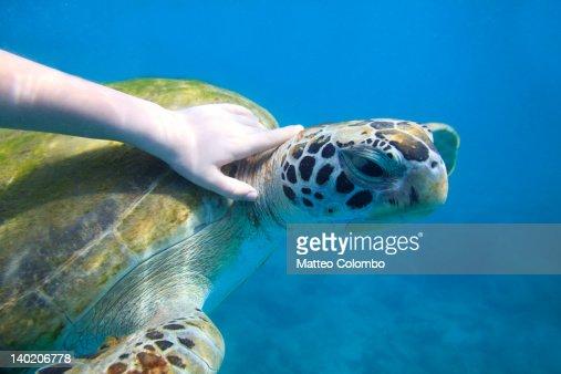 Boy hand touching sea turtle : Stock Photo
