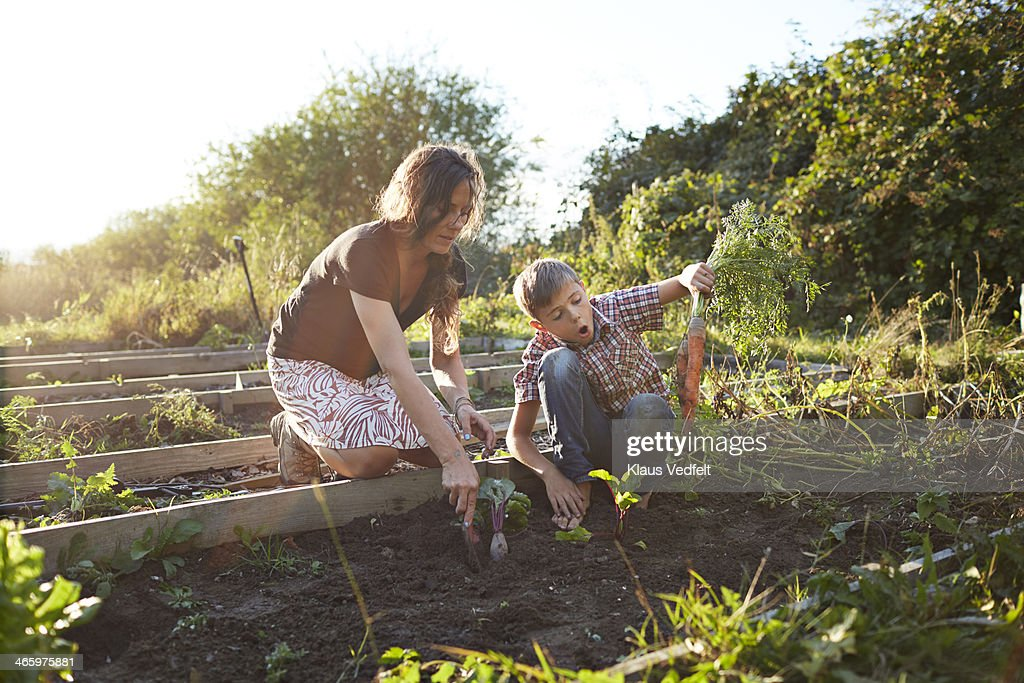 Boy harvesting big carrots with mom, in garden : Stock Photo