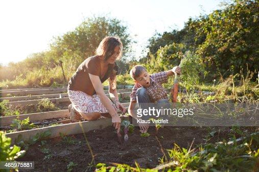 Boy harvesting big carrots with mom, in garden