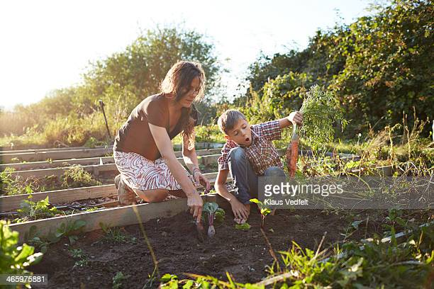 Boy harvesting big carrots with mom, in garden