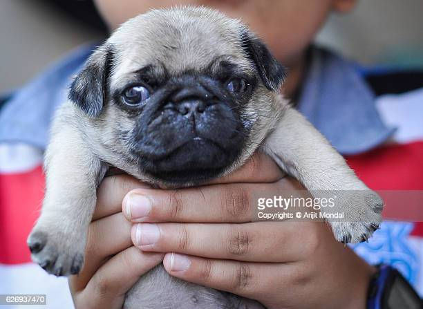 Boy Holding a Baby Pug Close-up Image While the Pug Puppy Looking at Camera