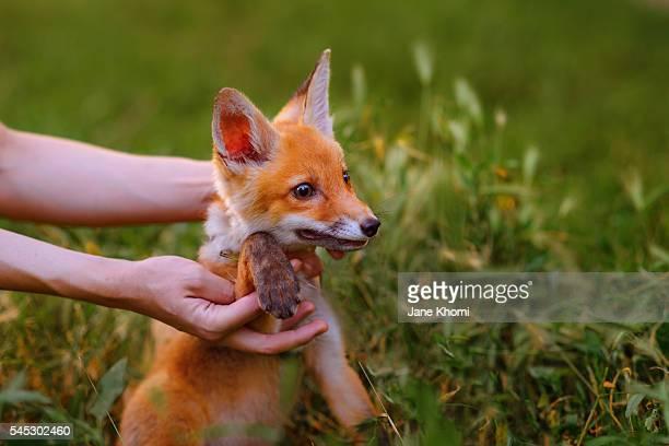 Boy holding baby vixen outdoors, Red Fox (Vulpes vulpes)