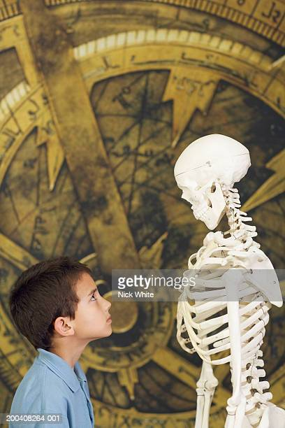 Boy (7-9) in science museum looking up at human skeleton, profile