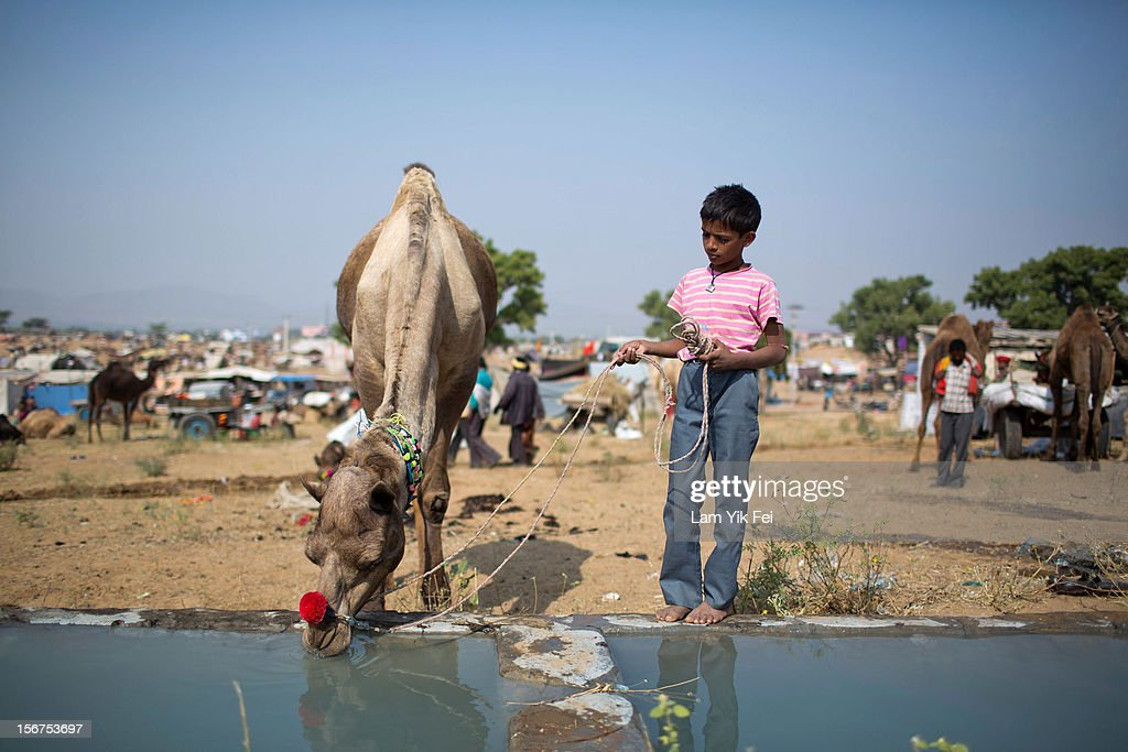 A boy leads his camel to drink water during a camel fair on November 20, 2012 in Pushkar, India. The annual camel and livestock fair is held over five days, and attracts thousands of tourists.