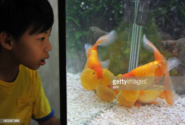 A boy looks at bubble eye fish in a tank at the 2013 Taiwan International Aquarium Expo in Taipei on September 28 2013 More than five hundred tanks...