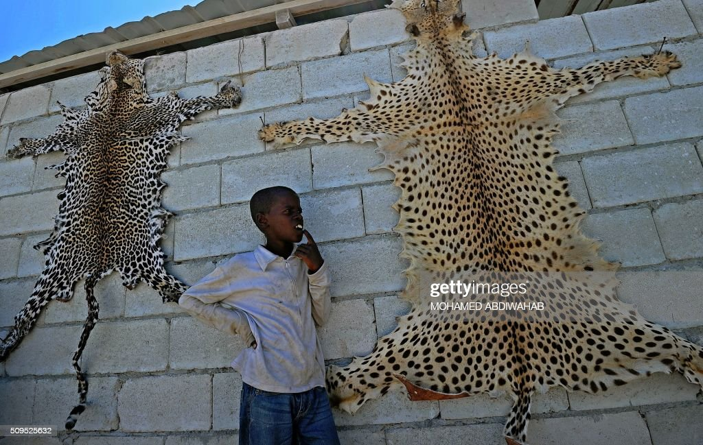 A boy looks at leopard skins for sale near Mogadishu airport on February 11, 2016. Leopards are an endangered animal in Somalia. / AFP / MOHAMED ABDIWAHAB
