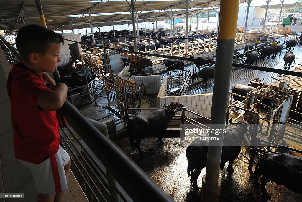 A boy looks at water buffaloes at the Tenuta Vannulo dairy farm in Capaccio on September 3, 2013. A queue forms for rub-downs as jazz piano tinkles out of the speakers: some of the best buffalo mozzarella in the world starts with in-stable VIP treatment. The half-tonne black water buffaloes spend their days lounging on rubber mattresses, munching on organic hay or looking forward to vaporised showers that form a fine cooling mist from overhead pipes.