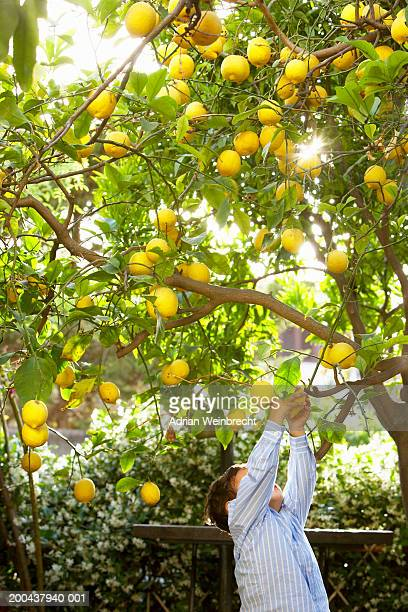 Boy (2-4) picking lemons from tree