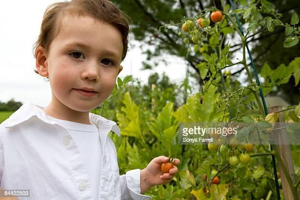 Boy picking organic cherry tomatoes