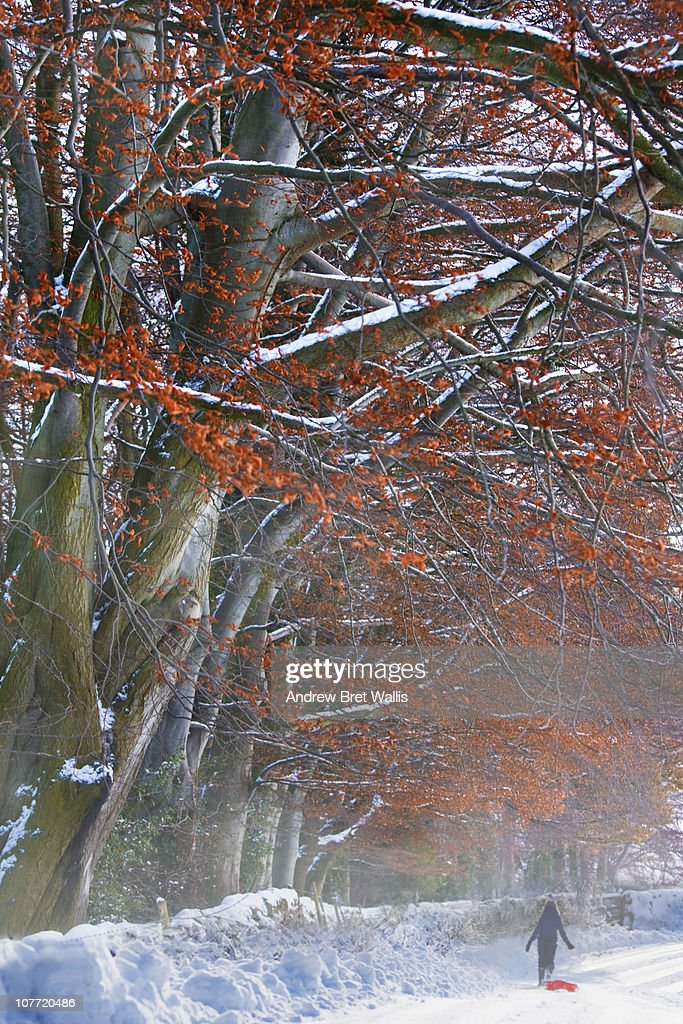 boy pulling sled past Beech trees in Winter snow : Stock Photo