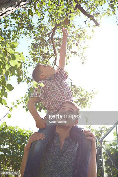 Boy reaching for a pear on a tree