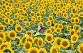 A boy rides on his father's shoulders through a field of sunflowers during a threeday sunflower festival in the town of Nogi Tochigi prefecture some...