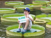 A boy sits on a Victoria Cruziana green leaf floating on the water during a oneday event for children held by the Higashiyama Botanical Garden in...