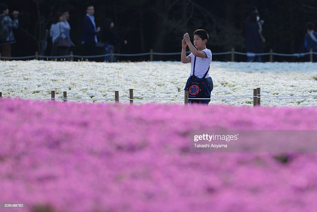 A boy takes photograph of Shibazakura (Moss phlox) during the Fuji Shibazakura Festival at Ryujin-ike Pond on April 30, 2016 in Fujikawaguchiko, Japan. About 800,000 mos phlox flowers are in full bloom at the festival held near the Mt. Fuji.