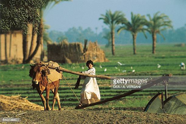A boy using a cow to operate a well with a water wheel Nile Valley Egypt