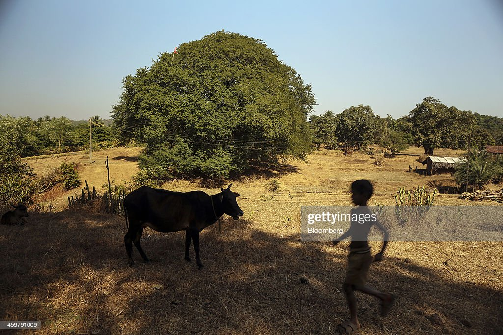 A boy walks past a cow grazing in Kainad, Maharashtra, India, on Saturday, Dec. 21, 2013. The construction of 600,000 kilometers (373,000 miles) of country roads, addition of 327 million rural phone connections and a rise in literacy to record levels since Prime Minister Manmohan Singh took office in 2004 has helped double the growth rate of Indias food output. Photographer: Dhiraj Singh/Bloomberg via Getty Images