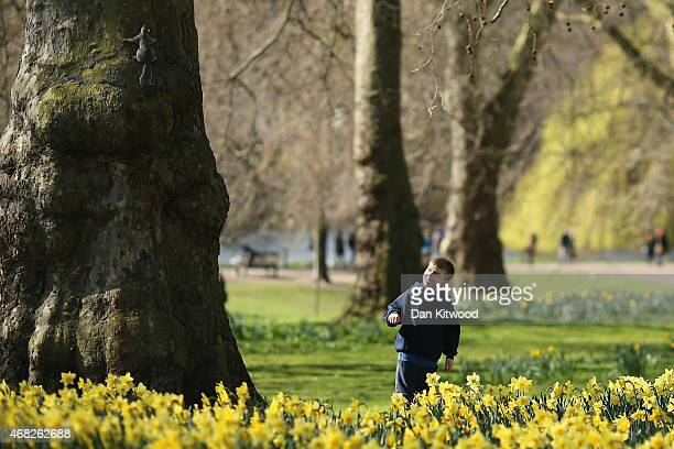 A boy watches a Grey Squirrel climb up a tree in St James's Park on April 1 2015 in London England Despite the sun making a brief appearance today...