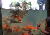 A boy watches as ducks swim amongst Japanes Koi carps inside an aquarium at a zoo in Manila on August 22 2014 The Japanese Koi carps are exhibited as...