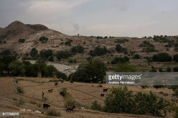 A boy watches sheep in the Momand Valley on July 16 2017 in Achin District Afghanistan The area is where the United Staes dropped the GBU43/B Massive...