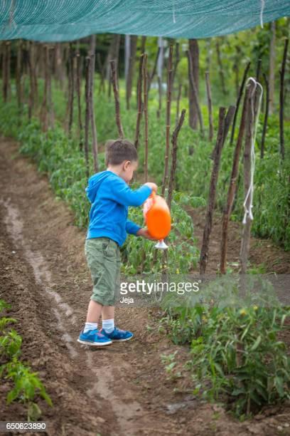 Boy watering tomatoes in summer garden