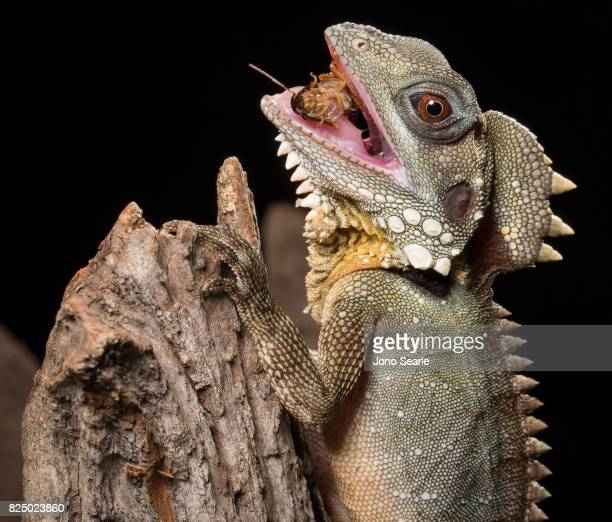 A Boyd's forest dragon eats a cockroach as it sits on the branch of a tree The Boyd's forest dragon is found in rainforests and their margins in the...