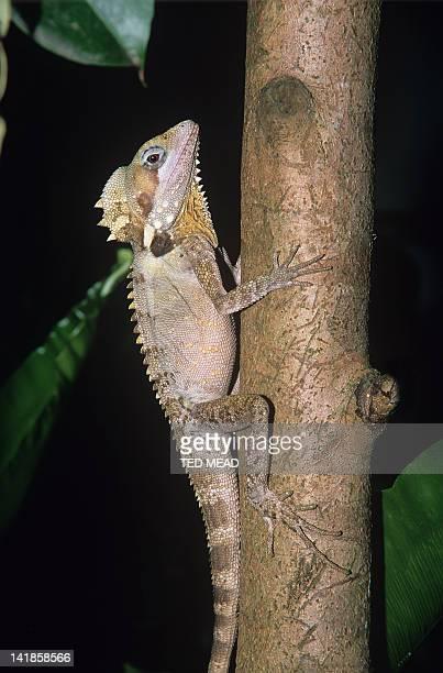 A Boyd's Forest Dragon ( Hypsilurus bogdii ) in a tropical rainforest, North Queensland, Australia