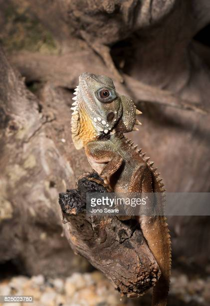 A Boyd's forest dragon sits on the branch of a tree The Boyd's forest dragon is found in rainforests and their margins in the Wet Tropics region of...