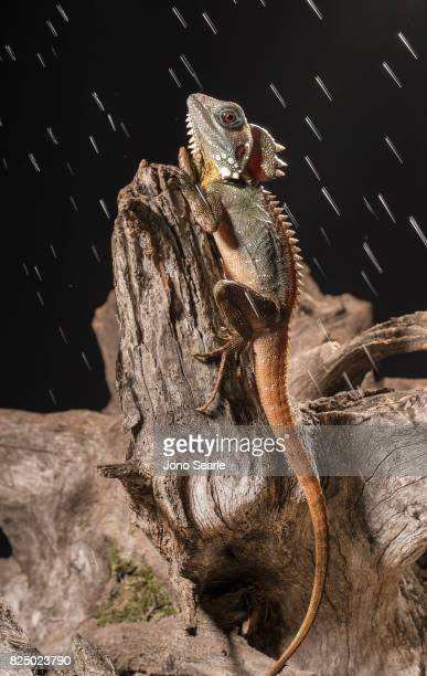 A Boyd's forest dragon sits on the branch of a tree while drops of water fall The Boyd's forest dragon is found in rainforests and their margins in...