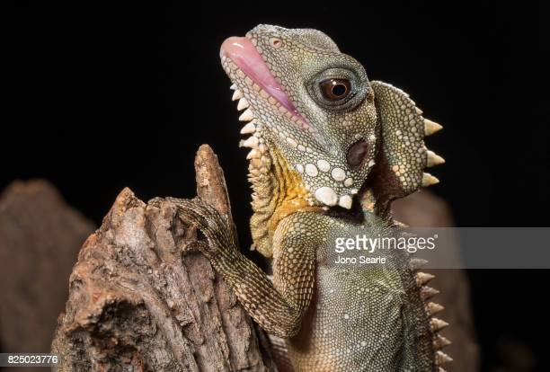 A Boyd's forest dragon with its tongue out The Boyd's forest dragon is found in rainforests and their margins in the Wet Tropics region of northern...