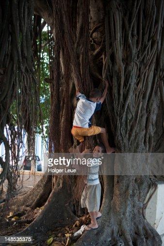 Bengalischer Feigenbaum Stock-Fotos und Bilder  Getty Images