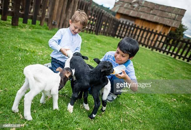 Garçon nourrir les chèvres