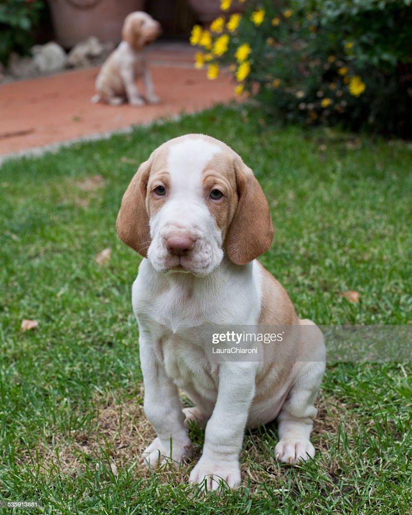 Bracco Italiano cachorrinho : Foto de stock
