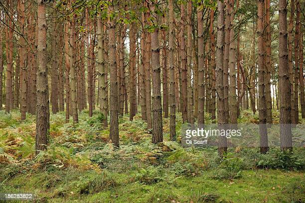 Bracken covers the ground in a coniferous woodland on October 24 2013 in Bramshill near Hook England